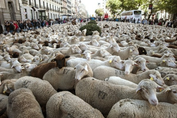 西班牙每年都有牧羊人在马德里市区赶羊,以捍卫其放牧的传统权利。(Dani Pozo/AFP)