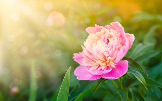 牡丹盛开的花园(fotolia)