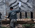 """泰国热门景点虎庙遭踢爆疑把老虎养大卖去当""""野味"""",所有老虎遭法庭勒令没收。图为2016年5月30日泰国野生动物官员开始将老虎麻醉后用担架抬出。(Christophe Archambault/AFP/Getty Images)"""