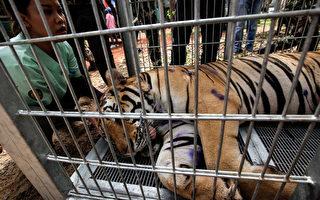2016年6月1日,泰国国家公园管理部的官员们正将被麻醉的老虎装上卡车。(Dario Pignatelli/Getty Images)
