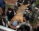 2016年6月1 日,泰國虎廟,國家公園管理部的獸醫正在照看一隻被麻醉後準備轉移的虎。(Dario Pignatelli/Getty Images)