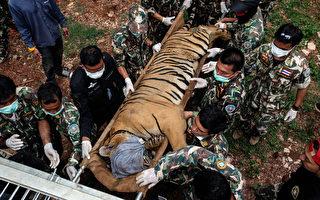 2016年6月1 日,泰国虎庙,国家公园管理部的兽医正在照看一只被麻醉后准备转移的虎。(Dario Pignatelli/Getty Images)