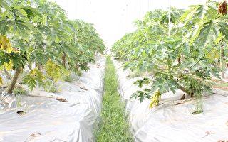 天賦農場的有機轉型期的天然木瓜,採自然農法、有機肥料、網室栽培、不用除草劑。(天賦農場提供)