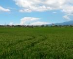 进入宜兰郊区,放眼望去,即将收割的稻田,金黄的稻穗在微风下轻轻摇曳,让人惊艳。(李双儿╱大纪元)