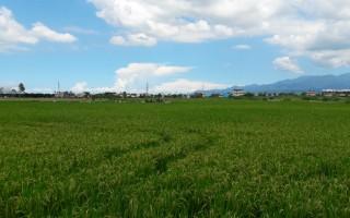 進入宜蘭郊區,放眼望去,即將收割的稻田,金黃的稻穗在微風下輕輕搖曳,讓人驚豔。(李雙兒╱大紀元)