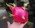 國產紅龍果營養價值很高,現在正進入產季。(農糧署提供)