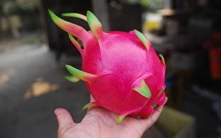 国产红龙果营养价值很高,现在正进入产季。(农粮署提供)