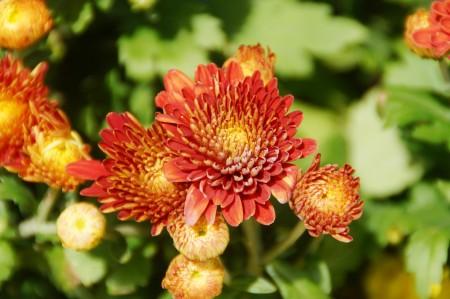 菊花被主办方选定为今年布城皇家花卉园艺节的主题花。 (杨晓慧/大纪元)