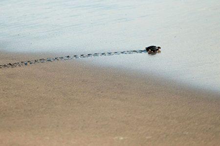 研究发现,在史前全球大灭绝后不久,两栖爬行动物迅速侵入海域。图为墨西哥海滩上的一只乌龟。(PEDRO PARDO/AFP/Getty Images)