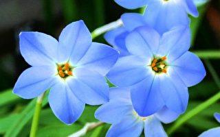 蓝色的花。(Pixabay)