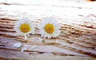 雏菊。(Pixabay)