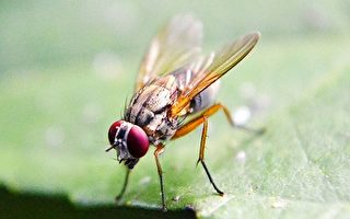 美國加州大學歐文分校科學家近來表示,他們用果蠅做實驗,發現有一個特殊的生命階段,預示著死亡即將來臨,並將這一階段稱為「死亡螺旋」階段。(Pixabay)