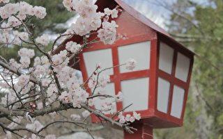 日本樱花。(Pixabay)
