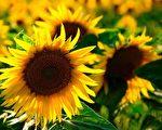 向日葵。(Pixabay)