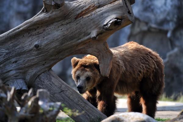 装死不管用 华人女子游美国家公园被熊咬伤