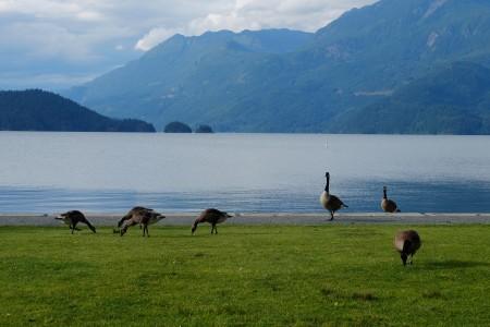 图:成群结队的加拿大鹅漫步青草绿地之间,无忧无虑。(李芝毓/大纪元)