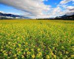 家乡,春回大地,艳阳天,油菜花铺天盖地,播种过的原野上,春麦茸茸地绿了一层。(伊罗逊/大纪元)