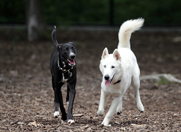 EAST MASSAPEQUA, NY - JULY 19: Dogs play in the Massapequa Dog Park on July 19, 2014 in East Massapequa, New York. (Photo by Bruce Bennett/Getty Images)