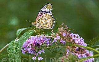長知識!蝴蝶愛喝酒?還會分辨花朵顏色!