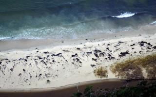 2016年7月18日,智利南部巴塔哥尼亞海岸發現約70頭死亡鯨魚。(HO/ SERNAPESCA/AFP)
