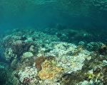 垦丁国家公园管理处28日表示,垦丁海水温度持续维持30度以上高温,垦丁海底珊瑚出现大量白化的现象,甚至少部死亡现象。垦管处正严密监测中。图为珊瑚白化状况。(蔡永春提供)