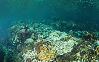 海溫飆高 墾丁珊瑚白化嚴重