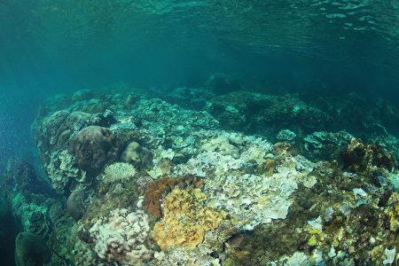 墾丁國家公園管理處28日表示,墾丁海水溫度持續維持30度以上高溫,墾丁海底珊瑚出現大量白化的現象,甚至少部死亡現象。墾管處正嚴密監測中。圖為珊瑚白化狀況。(蔡永春提供)