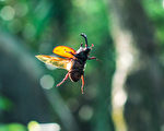 台北市立动物园13日表示,最近正是独角仙破蛹而出的季节,公独角仙为了抢女朋友,用角奋力顶开竞争者,被顶开的不服输,在空中飞一阵子又降落在附近。(台北市立动物园提供)