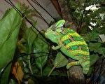 台北市立动物园18日表示,变色龙的体表颜色,会依心情及生理状态而改变,公变色龙在发情期,还会出现特别的花纹,母变色龙则是在怀孕期皮肤颜色偏黑并出现黄色斑纹。(台北市立动物园提供)