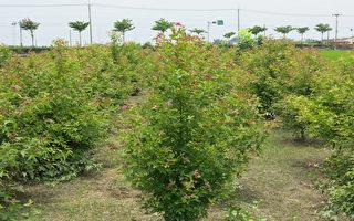 农民短期经济造林  收益高于领休耕补助