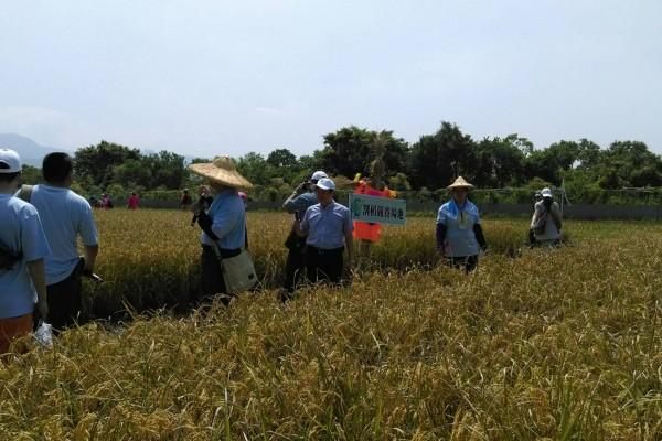 500人同割稻 体验台湾水稻文化