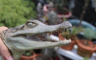 霧峰農民在農地水溝捕捉到60公分長的眼鏡凱門鱷魚。(台中市農業局提供)