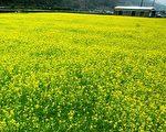 家乡,艳阳天,油菜花铺天盖地,播种过的原野上,春麦茸茸地绿了一层。(伊罗逊/大纪元)
