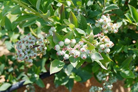 圖:最晚成熟的藍莓品種埃利奧特(Elliot)。(李芝毓/大紀元)