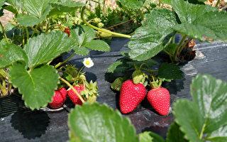 图:鲜红饱满的草莓在绿叶的映衬下格外显眼。(李芝毓/大纪元)
