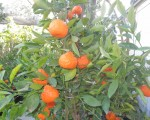 位于艾尔蒙地(El Monte)颇负盛名的老罗苗圃中的果树。(商家提供)