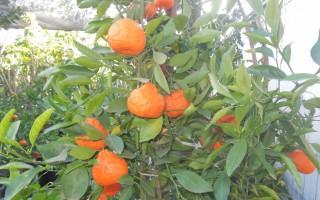 老羅苗圃  夏季亞洲果樹、花樹熱賣