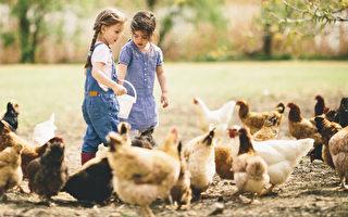 科学家发现,鸡只的味道能将阿拉伯疟蚊赶走,是驱蚊的天然方法。图为两个小女孩在饲养鸡。(Fotolia)
