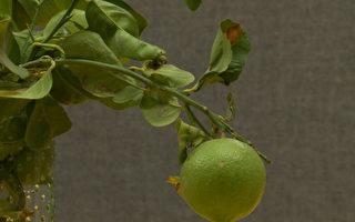 木虱肆虐西半球 加州百年柑橘业受威胁
