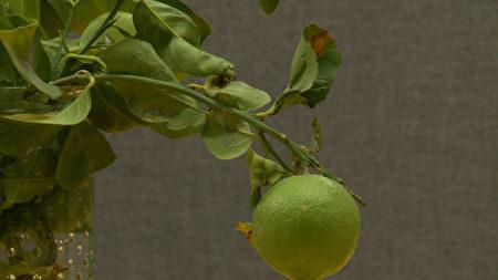 染上黄龙病的柑橘树叶会变黄卷曲。(刘宁/大纪元)