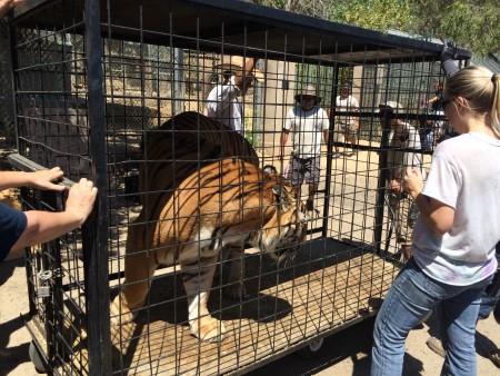 7月27日,一只名叫泰森的老虎和其它同伴在工作人员的协作下,终于回家了。(李子文/大纪元)