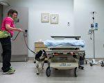 加拿大第一隻Cd超級細菌嗅探犬安格斯正在醫院工作。(加通社)