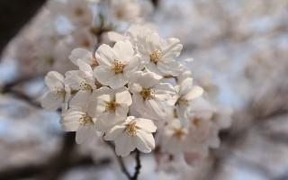 白色樱花。(Pixabay)