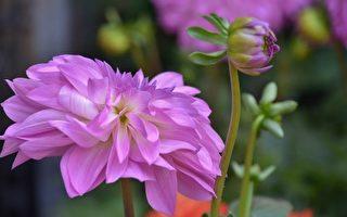 大麗花。(Pixabay)