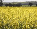 艳阳天,家乡的油菜花铺天盖地,播种过的原野上,春麦茸茸地绿了一层。(伊罗逊/大纪元)