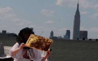 曼哈頓擁有世界離地面最高的蜂巢。 (Chris Hondros/Getty Images)