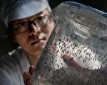 廣州熱帶病蟲媒控制聯合研究中心的科學家透過細菌感染的技術抑制蚊子數量,以減少寨卡病毒的傳播機率。(Kevin Frayer/Getty Images)
