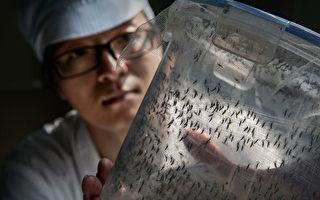 广州热带病虫媒控制联合研究中心的科学家透过细菌感染的技术抑制蚊子数量,以减少寨卡病毒的传播概率。(Kevin Frayer/Getty Images)