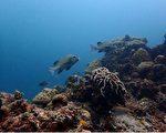 海洋国家公园管理处指出,目前已完成105年度所辖的东沙环礁国家公园珊瑚礁体检调查,石鲈等大型鱼类在东沙环礁潟湖内的块礁区较为常见。(海管处提供)