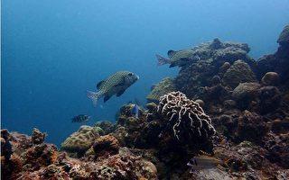海洋國家公園管理處指出,目前已完成105年度所轄的東沙環礁國家公園珊瑚礁體檢調查,石鱸等大型魚類在東沙環礁潟湖內的塊礁區較為常見。(海管處提供)